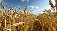 Озимая пшеница ЛИДИЯ, Элита