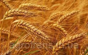 Озимая пшеница МАРКИЗ, 1 Репродукция