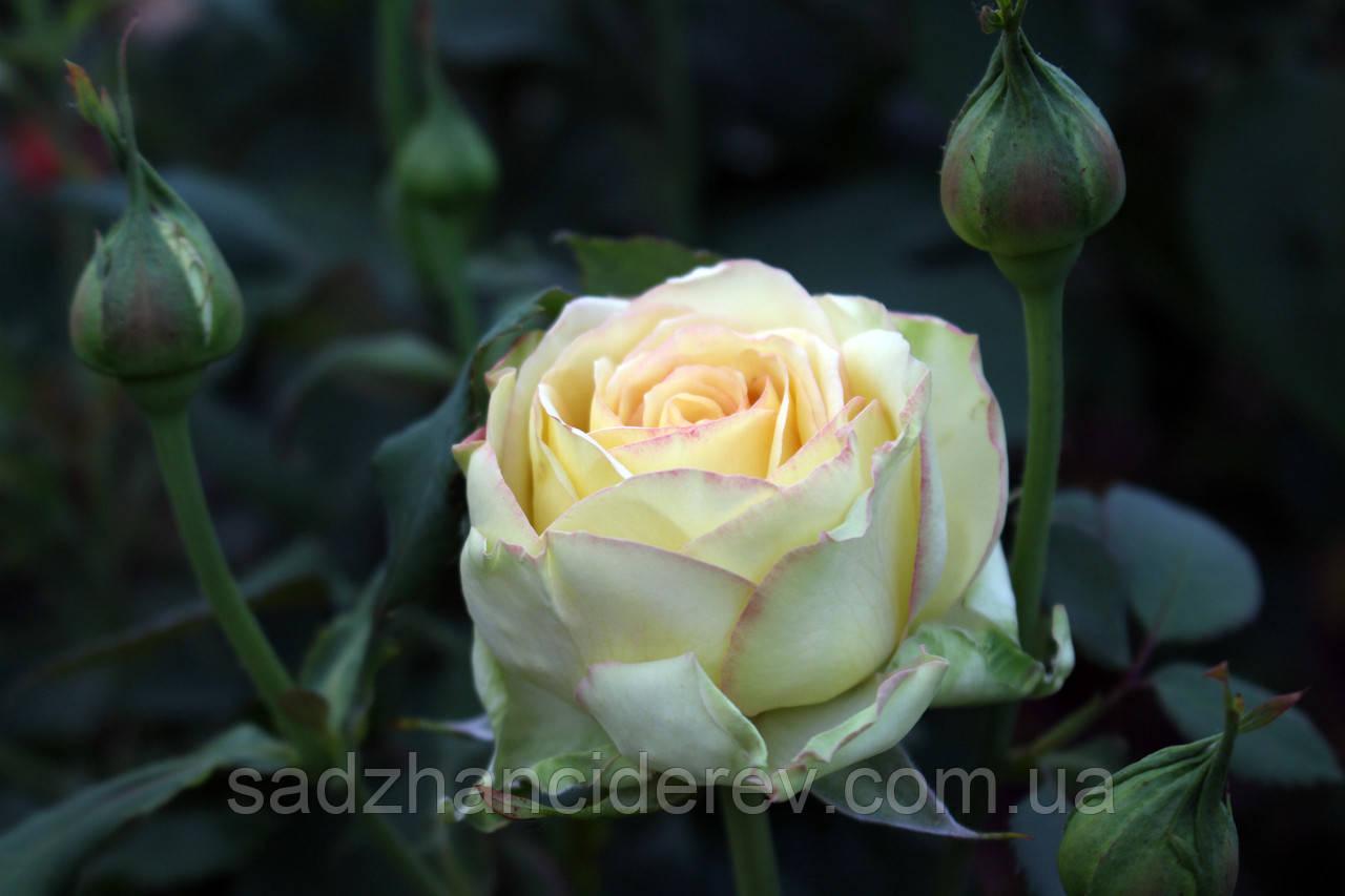 Саджанці троянд Містелі (Misteli, Мистели)