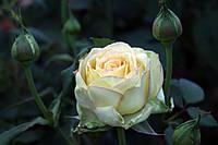 Саджанці троянд Містелі (Misteli, Мистели), фото 1