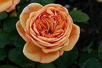 Саджанці троянд Чарльз Остін (Charles Austin, Чарльз Остин), фото 1