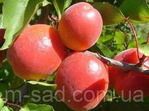 Абрикос Эрли Блуш 1 летки ( ранний,урожайный,ароматный), фото 2