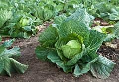 Как вырастить хороший урожай белокочанной капусты