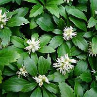 Пахизандра – зеленое почвопокровное растение. горшок 0.5л .
