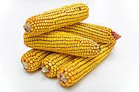 Семена кукурузы - Р9175 Pioneer
