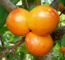 Гибрид абрикоса и сливы Априум
