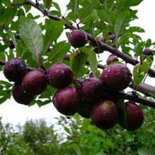 СВГ (Сливово-вишневый гибрид)