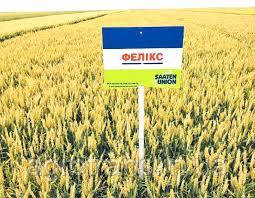 Пшеница озимая, Феликс, 1-я репродукция, Saaten Union