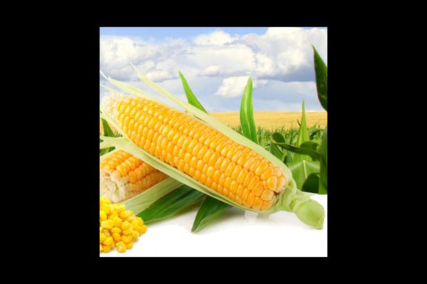 Семена кукурузы P8567 Пионер (Pioneer)