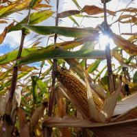 Семена кукурузы Р0074 Пионер (Pioneer)