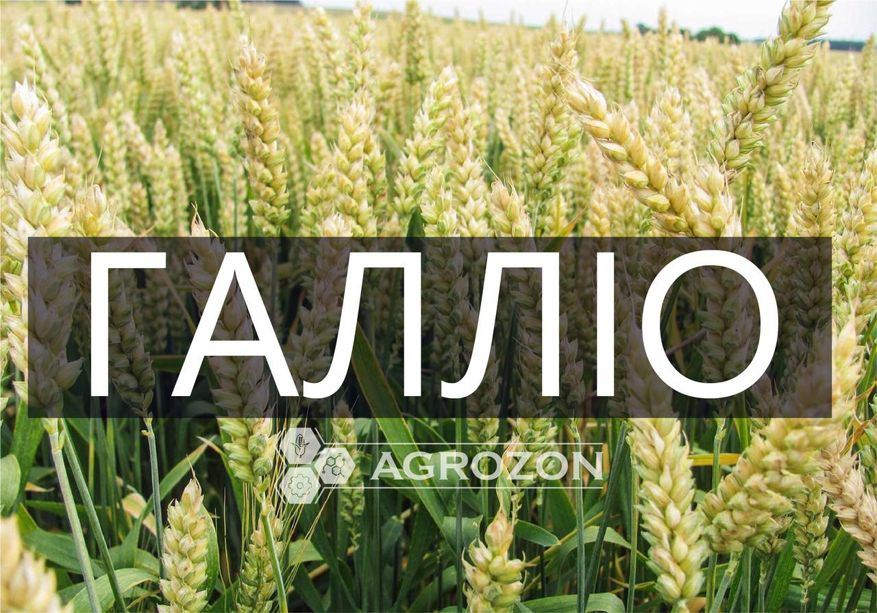 Семена озимой пшеницы сорт Галлио, GALLIO, Probstdorfer Saatzucht (Австрія)