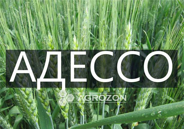 Семена озимой пшеницы сорт АДЕССО, Probstdorfer Saatzucht (Австрія), фото 2