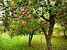Удобряем фруктовые деревья правильно!
