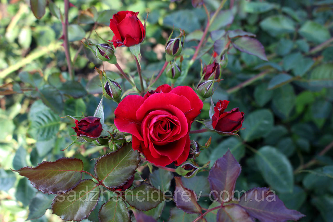 Саджанці троянд в'юнка червона