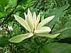 Магнолия трехлепестная (Magnolia tripetala), контейнер (саженец 12-16 см)