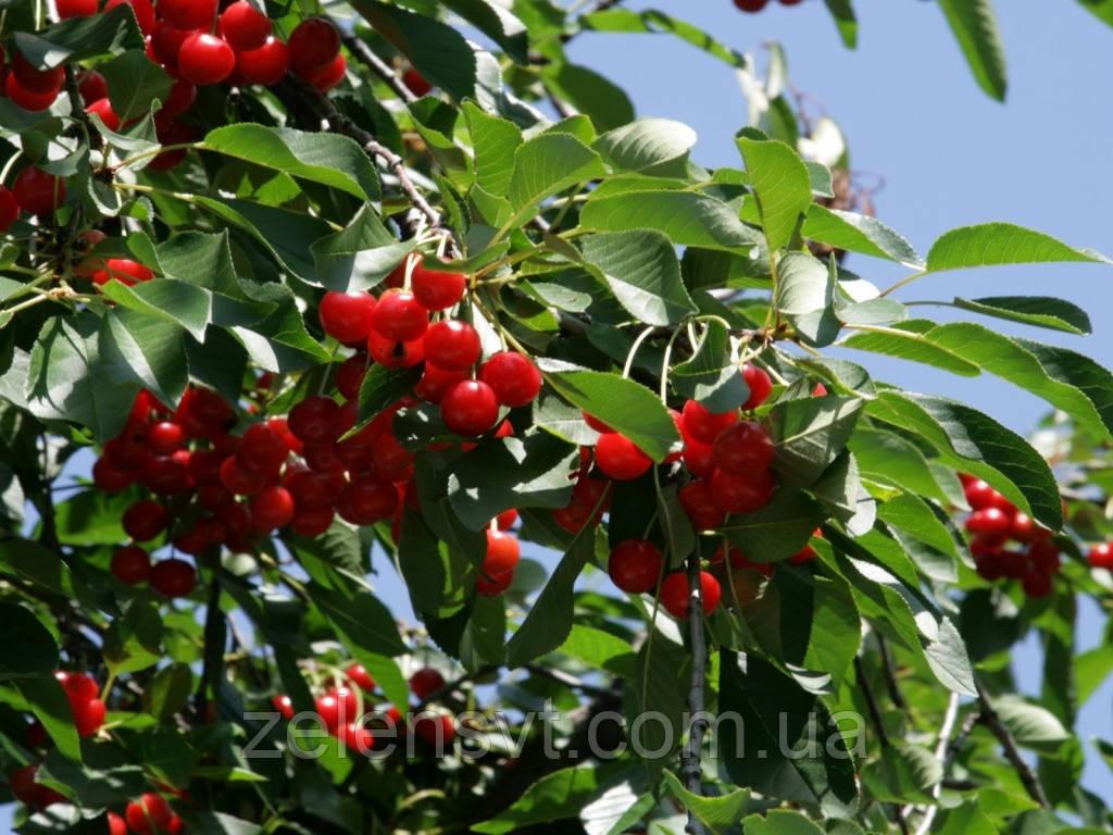 Саджанці вишні Звичайної.Саженцы вишни Обыкновенной