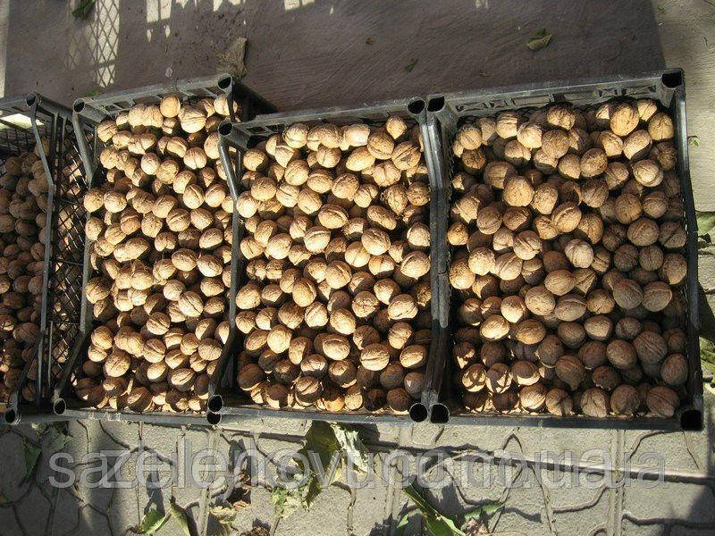 Саджанці грецького горіха Велетень(двохрічний) Саженцы грецкого ореха Великан (двухлетний)