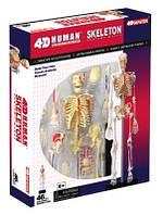 Объемная анатомическая модель 'Скелет человека' (24704)