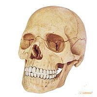 Объемная анатомическая модель 'Череп человека' (24707)