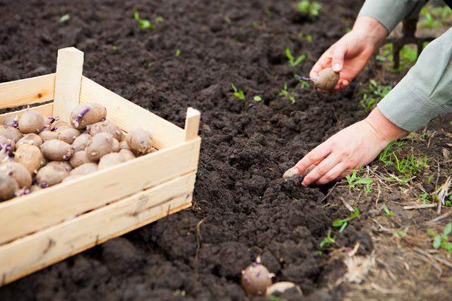 Посадка картофеля  в июле
