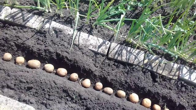 Поздняя посакдка картофеля в июле