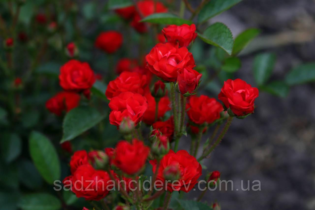 Саджанці  троянди Анічка (Anichka, Аничка, Капелька)
