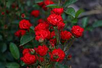 Саджанці  троянди Анічка (Anichka, Аничка, Капелька), фото 1