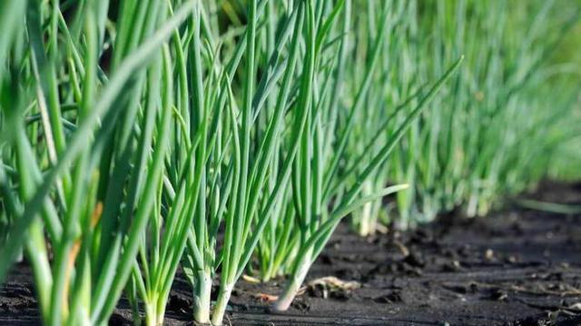 Выращивание лука сорта батун
