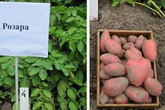 Особенности картофеля сорта Розара