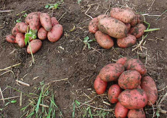 Картофель сорта розара