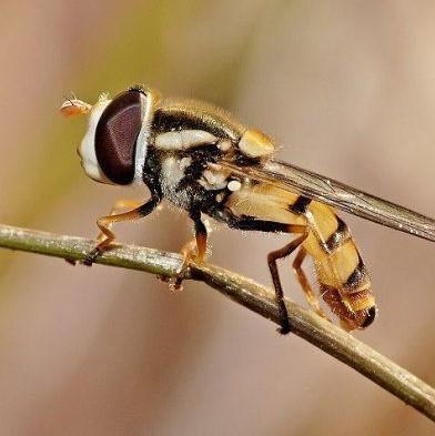 нарциссовая муха насекомое вредитель