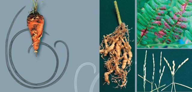 фитопатогенные нематоды на моркови