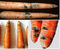 Профилактика и борьба с болезнями моркови