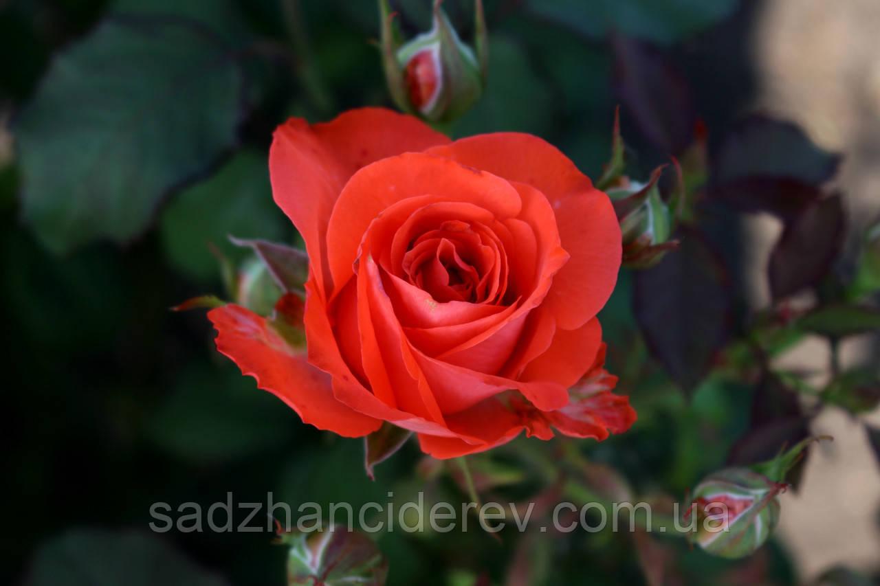 Саджанці троянд  Вау (Wow)