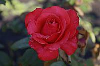 Саджанці троянди Корвет (Corvette), фото 1