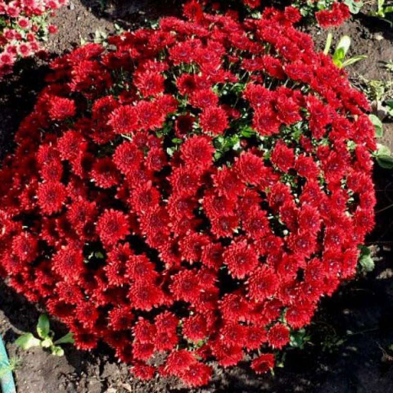 Хризантема шаровидная бордовая