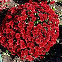 Хризантема шаровидная бордовая, фото 1