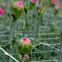 Шпалерная сетка для выращивания вьющихся овощных культур и цветов на срезку