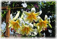 Лилия Mister Cas лилейное дерево