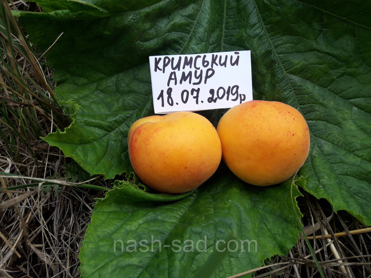Саженцы абрикоса Крымский Амур (Украина)