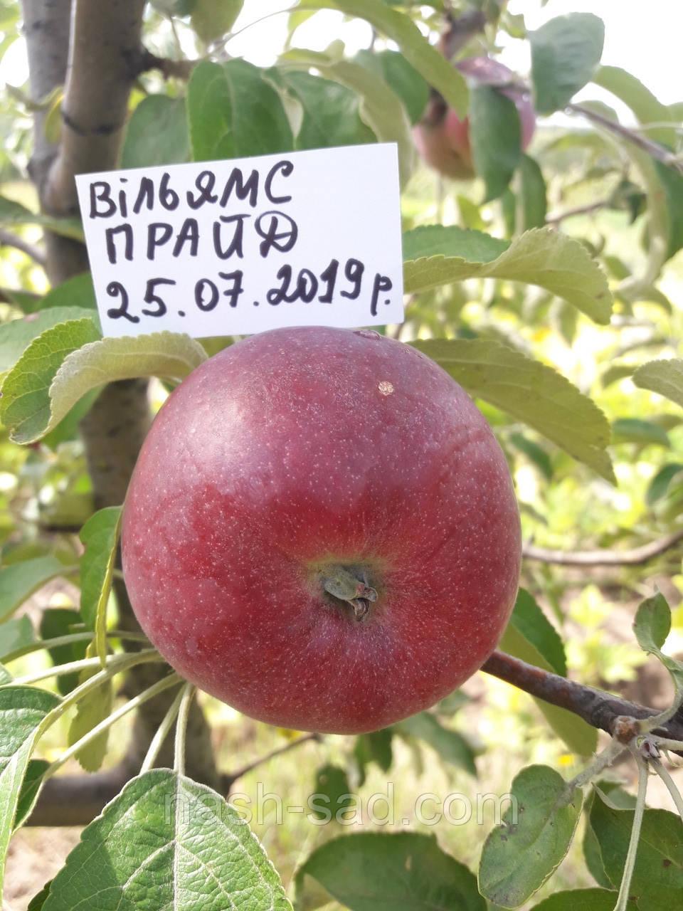 Саженцы яблони Вильямс Прайд (США)