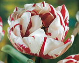 Тюльпан Carnaval de Nice 11/12, фото 2