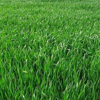Райграс багатоукісний в травостої зростає два-три роки, добре зростає на всіх типах грунту, упаковка от 1 кг