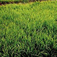 Райграс пасовищний добре виностить затінення, нарощує велику кількість зеленої маси, упаковка 800 г