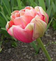 Тюльпан Renown Unique 11\12