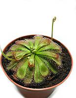 Растение хищник Росянка Алисиа AlienPlants Drosera Aliciae размер М горшок 9 см (SUN0012CP)