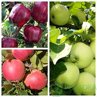 Дерево сад яблоня (Мутсу+Глостер+Джонаглд)