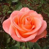 Троянда Wow НТ (Вау ЧГ). 2-річний саджанець., фото 1