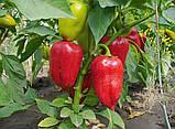 Ирен F1 500 шт семена сладкого перца Enza Zaden Голландия, фото 3