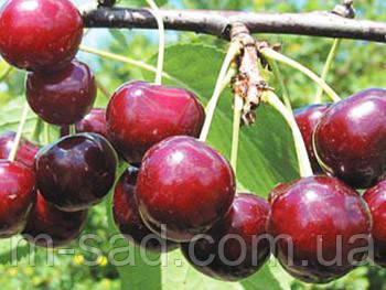Саженцы вишни Встреча(крупный,скороплодный,слаборосл)